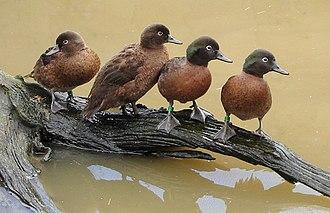 Flightless bird - Campbell teal