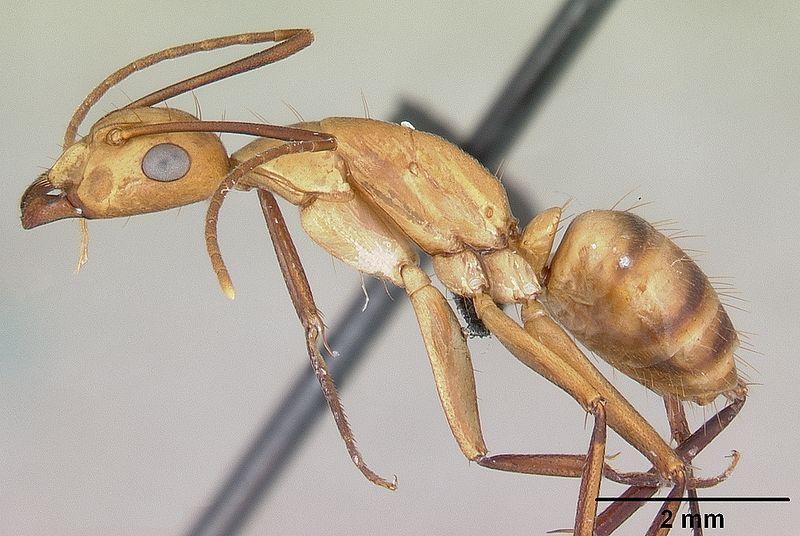 File:Camponotus variegatus casent0103245 profile 1.jpg