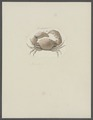 Cancer ochtodes - - Print - Iconographia Zoologica - Special Collections University of Amsterdam - UBAINV0274 094 14 0016.tif