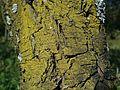 Candelariella xanthostigma a1 (6).JPG
