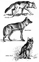 Canis lupus portraits (illustration) 2.jpg
