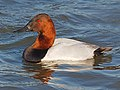Canvasback - Aythya valsineria, Cambridge, Maryland (24480067257).jpg