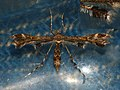 Capperia trichodactyla (40478918564).jpg