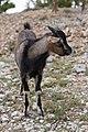 Capra aegagrus (Chèvre sauvage) - 58.jpg