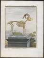 Capra aegagrus - skelet - 1700-1880 - Print - Iconographia Zoologica - Special Collections University of Amsterdam - UBA01 IZ21300275.tif