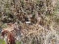 Carex donnell-smithii - University of California Botanical Garden - DSC08976.JPG