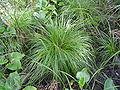 Carex elongata1.JPG