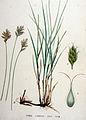 Carex ligerica — Flora Batava — Volume v19.jpg