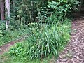 Carex pendula plant (26).jpg