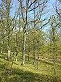 Carex praecox sl33.jpg