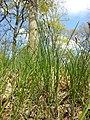 Carex praecox sl39.jpg