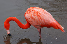 Caribbean flamingo at slimbridge arp