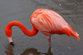 Caribbean flamingo at slimbridge arp.jpg