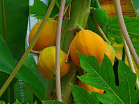 Carica papaya 005
