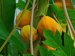 Carica papaya 005.JPG