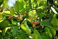 Carissa Carandas Fruit.jpg