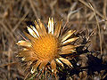 Carlina racemosa Flowers Closeup Tamaral SierraMadrona.jpg