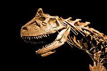 Cranio e vertebre di Carnotauro. Le epipofisi (proiezioni ossee lungo le vertebre cervicali) sono una sinapomorfia (tratto in comune) esclusiva dei dinosauri.[17]