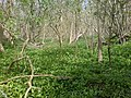 Carpet of wild garlic and bluebells - panoramio.jpg