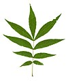 Carya cordiformis leaf.jpg