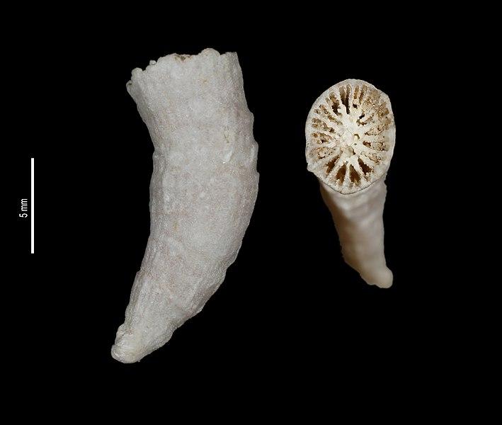 File:Caryophyllia abrupta (MNHN-IK-2009-231).jpeg
