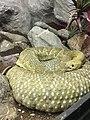 Cascabel del Pacífico (Crotalus basiliscus).jpg