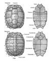 Casco de tartaruga.png
