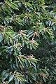 Castanea mollissima, Hangzhou Botanical Garden 2018.06.03 15-41-48.jpg
