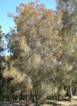 Casuarina cunninghamiana - Casuarina cunninghamiana tree in flower..