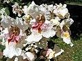 Catalpa speciosa JPG01b.jpg