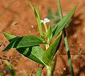Catharanthus pusillus (Tiny Periwinkle) W IMG 3209.jpg