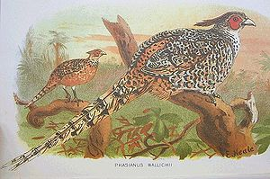Cheer pheasant - Image: Catreus wallichii hm