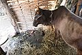 Cattle (Bos taurus) in morang district-2569.jpg