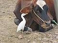 Cattle egret IMG 1185.jpg