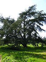 Cedrus atlantica tree.jpg