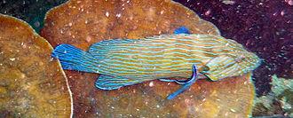 Cephalopholis formosa - Image: Cephalopholis formosa Blue lined grouper Ko Tao, Thailand 1674