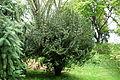 Cephalotaxus harringtonia 'Fastigiata' - Tyler Arboretum - DSC01886.JPG