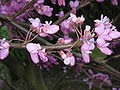 Cercis siliquastrum close-up flowers.jpg