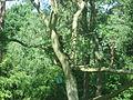 Cercocebus chrysogaster in Burgers' Zoo (Park).JPG