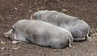 Cerdo Turopolje, Tierpark Hellabrunn, Múnich, Alemania, 2012-06-17, DD 01.JPG