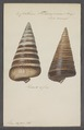 Cerithium telescopium - - Print - Iconographia Zoologica - Special Collections University of Amsterdam - UBAINV0274 083 05 0006.tif
