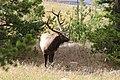 Cervus canadensis (29783615702).jpg