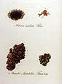 Cetraria aculeata — Flora Batava — Volume v9.jpg