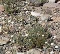 Chaenactis carphoclinia var carphoclinia 5.jpg