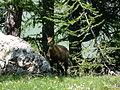 Chamois (Rupicapra rupicapra) 04.JPG