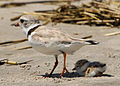 Charadrius melodus -Cape May, New Jersey, USA -parent and chick-8.jpg