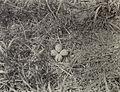Charadrius vociferus - 1905A.jpg
