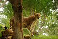 Cheetah @ Honolulu Zoo (5213322213).jpg