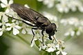 Cheilosia.variabilis2.-.lindsey.jpg