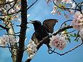 Cherry Blossom DC 2014 (14097662151).jpg